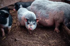 在农场的小越南猪 库存图片