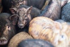 在农场的小越南猪 图库摄影