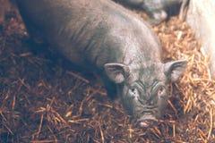 在农场的小越南猪 免版税图库摄影