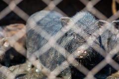在农场的小越南猪 库存照片