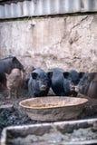 在农场的小越南猪 免版税库存图片