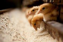 在农场的小鸡饲料 库存照片