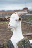 在农场的山羊特写镜头 免版税库存照片