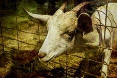 在农场的山羊 图库摄影