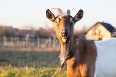 在农场的布朗山羊 免版税库存照片