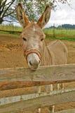 在农场的布朗驴 库存图片