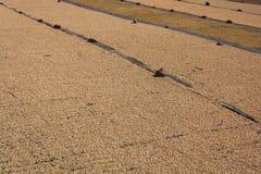 在农场的干燥咖啡豆在湖Atitlan附近 免版税库存图片