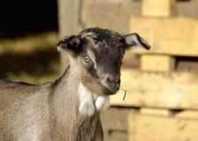 在农场的幼小山羊 库存照片