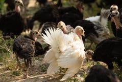 在农场的幼小火鸡 免版税图库摄影