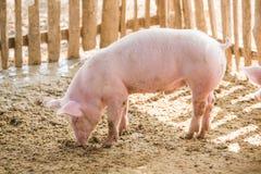 在农场的幼小猪 免版税库存图片