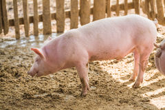 在农场的幼小猪 免版税图库摄影