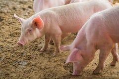 在农场的幼小猪 库存照片