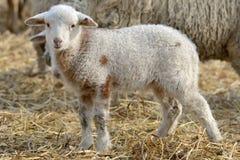 在农场的新出生的羊羔 图库摄影