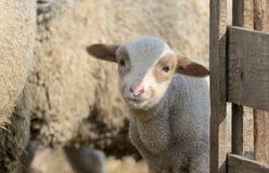 在农场的新出生的羊羔 免版税图库摄影
