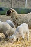 在农场的新出生的羊羔 免版税库存图片
