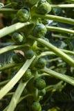 在农场的新鲜的绿色生长抱子甘蓝 库存照片