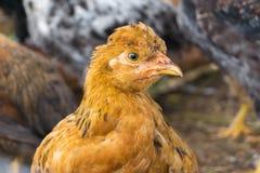 在农场的有斑点的母鸡 免版税图库摄影