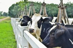 在农场的母牛 免版税图库摄影