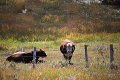 在农场的母牛 免版税库存照片