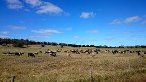 在农场的母牛 图库摄影