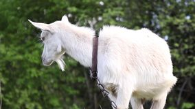 在农场的滑稽的山羊 成人白色山羊在草甸吃草并且吃草
