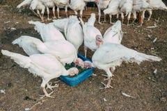 在农场的火鸡 图库摄影
