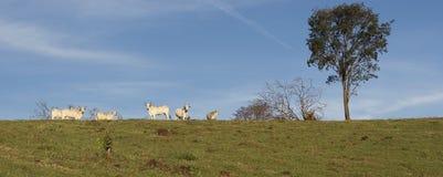 在农场的牛牧群 库存图片