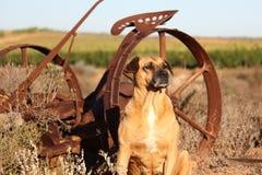 在农场的狗 免版税库存图片