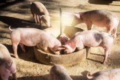 在农场的猪 肉产业 适应激增肉类需求的养猪在泰国和国际性组织的 免版税图库摄影