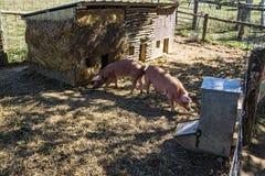 在农场的猪 免版税库存图片