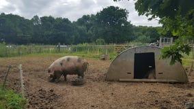 在农场的猪 免版税库存照片