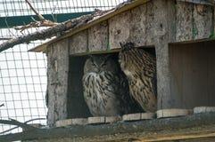 在农场的猫头鹰 免版税库存图片