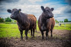 在农场的盖洛韦牛 免版税库存照片