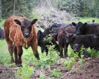 在农场的盖洛韦牛 图库摄影