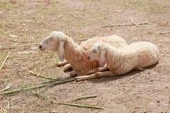 在农场的睡眠绵羊 免版税库存图片