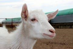 在农场的空白山羊 免版税库存图片