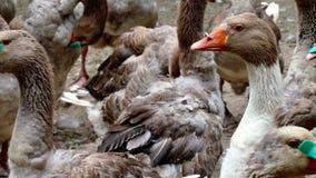 在农场的繁殖的鹅 股票视频