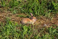 在农场的红发兔子 在草的红发野兔本质上 库存照片