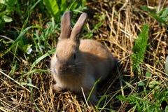 在农场的红发兔子 在草的红发野兔本质上 免版税库存照片