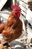 在农场的红色雄鸡 库存照片