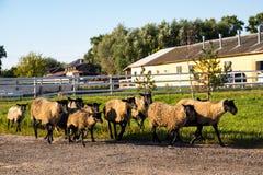 在农场的绵羊在晚上从牧场地 免版税库存图片