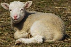 在农场的羊羔秸杆的 库存照片