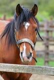 在农场的美丽的棕色良种马 免版税库存照片