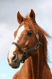 在农场的美好的棕色良种马头 免版税库存图片