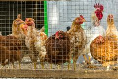 在农场的自由放养的鸡 库存照片