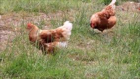 在农场的自由放养的棕色鸡 股票视频