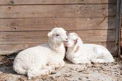 在农场的自由绵羊 免版税库存图片