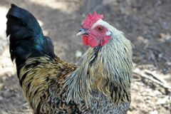 在农场的花梢鸡 免版税库存图片