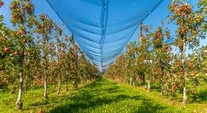 在农场的苹果 免版税库存照片