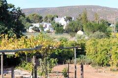 在农场的葡萄葡萄栽培 免版税库存照片
